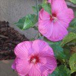 Hibiscus Luna