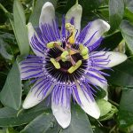 Passiflora Blue Horizon