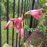 Crinum (lily)