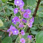 Princess Flower - Tibouchina heteromalla